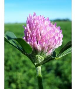 Koniczyna łąkowa - PASIEKA kwiat