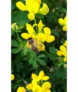 Komonica zwyczajna - SKRZESZOWICKA kwiaty