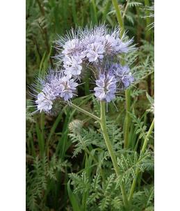 Facelia błękitna Natra 1 kg