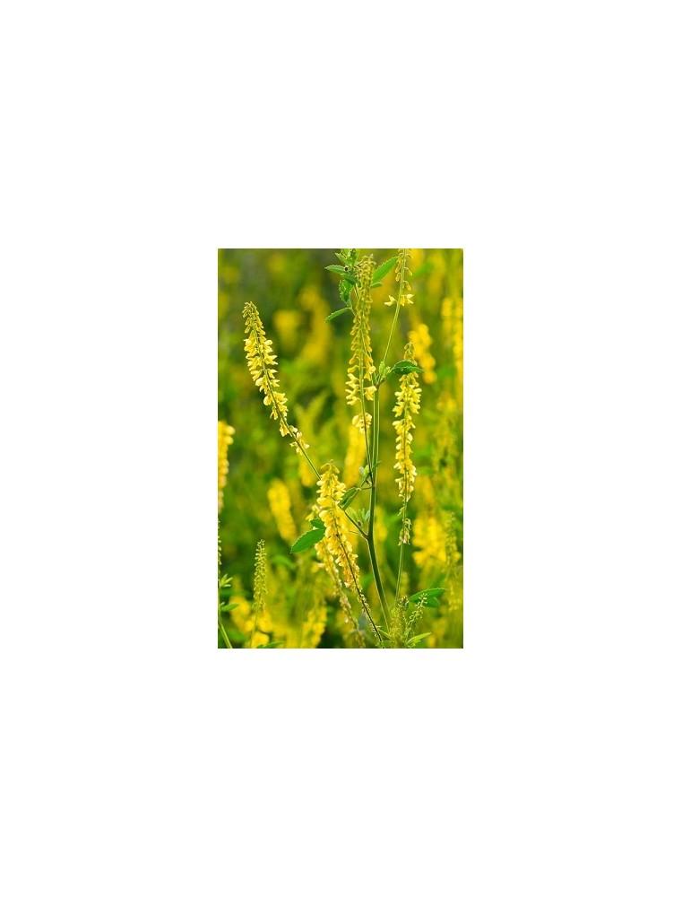 Nostrzyk żółty