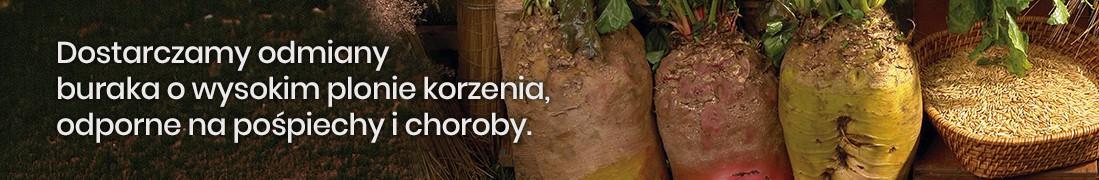 Nasiona buraków pastewnych wielokiełkowych: Małopolska Hodowla Roślin