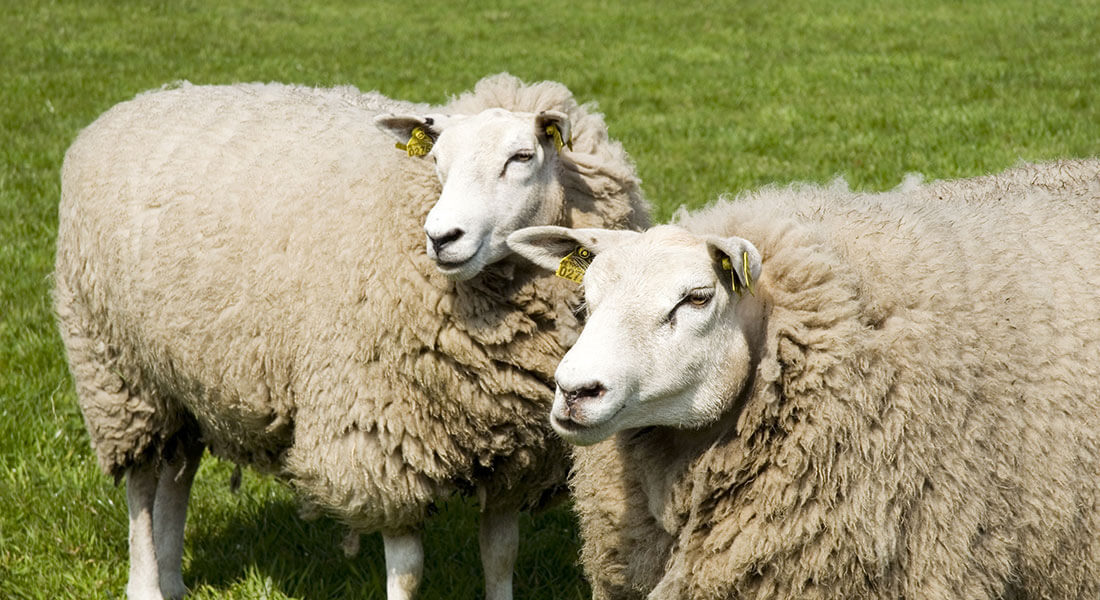 Rola buraka pastewnego w żywieniu zwierząt owcy