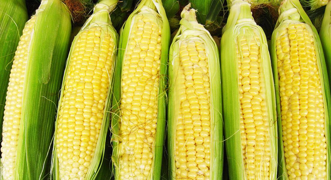 kukurydza na kiszonke