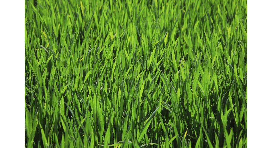 Jak wybrać dobrą mieszankę traw gazonowych? Polecane odmiany
