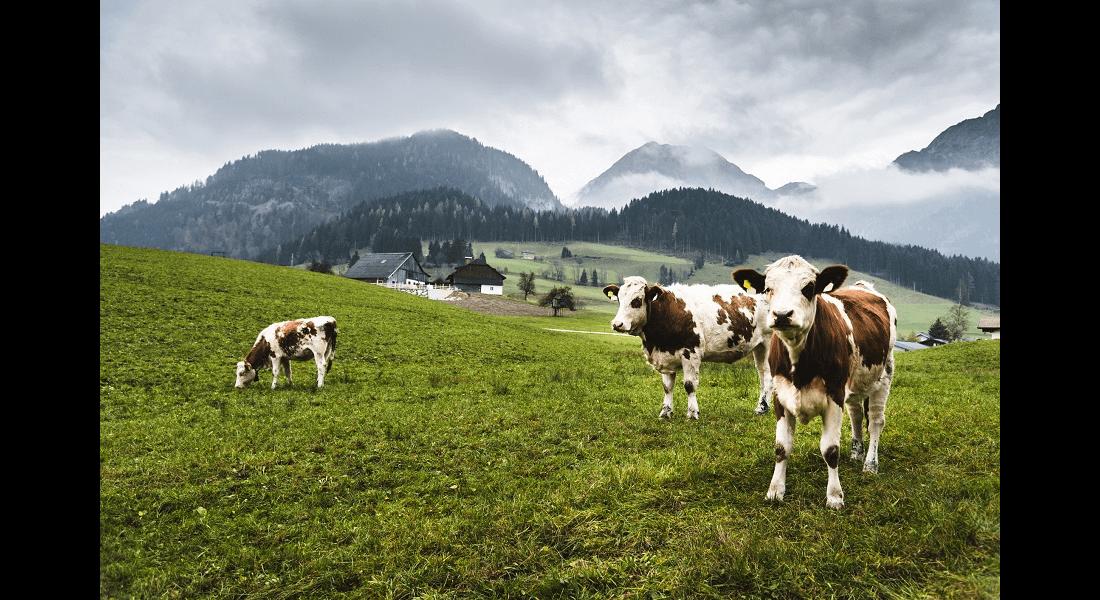 Trawy pastewne o szerokim zastosowaniu - życica wielokwiatowa westerwoldzka