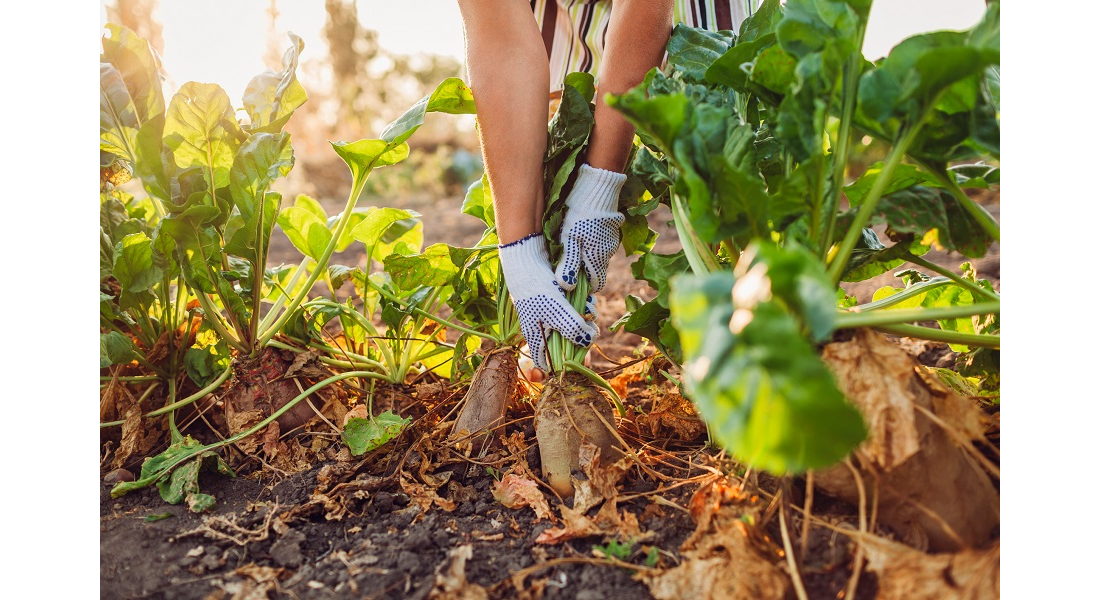 Jak stosować i uprawiać buraki pastewne?