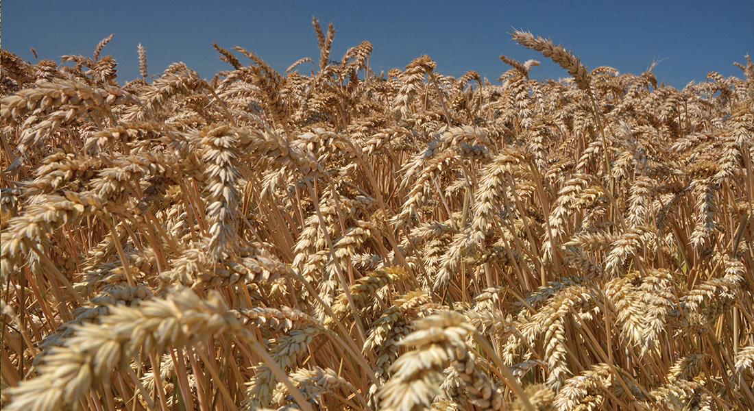 Zboża jare – kiedy siać, jak nawozić? Kalendarz rolnika wiosna 2020 – siew zbóż